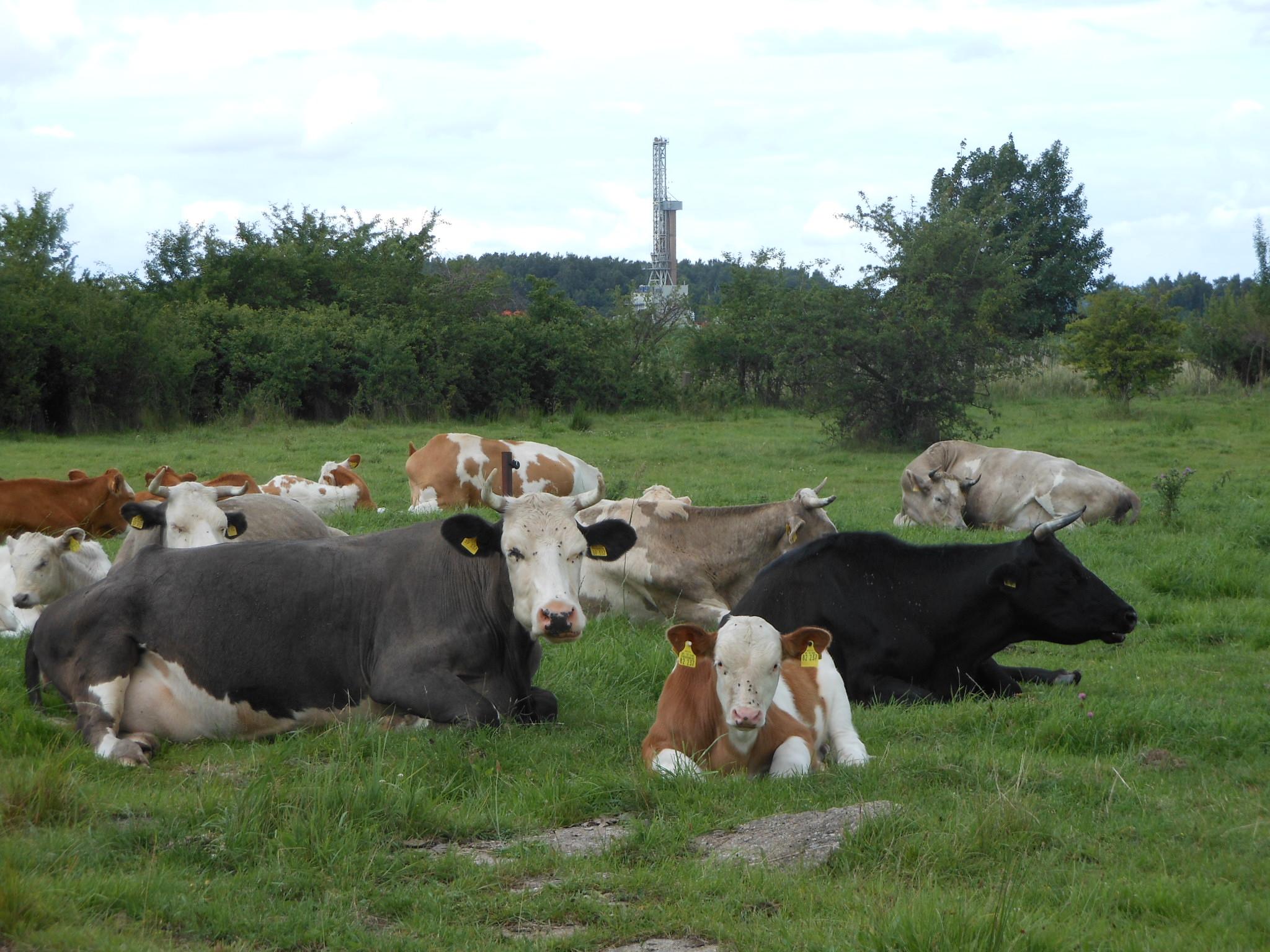 Glückliche Kühe und Erdölbohrturm